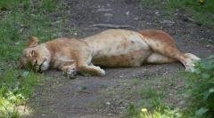 løvehvil