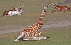 giraffer-2