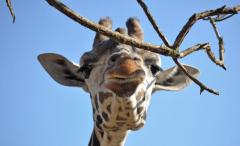 giraffer-6