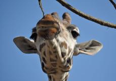 giraffer-7