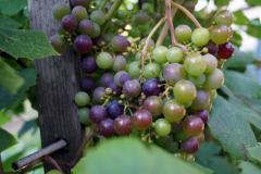 grape in our garden 2